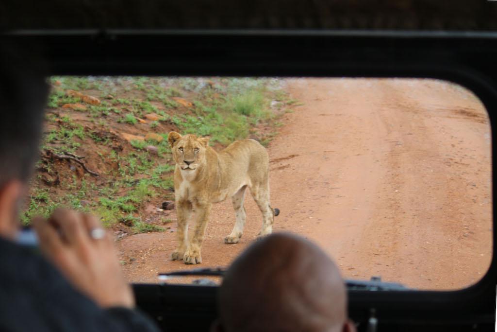 Lioness so close