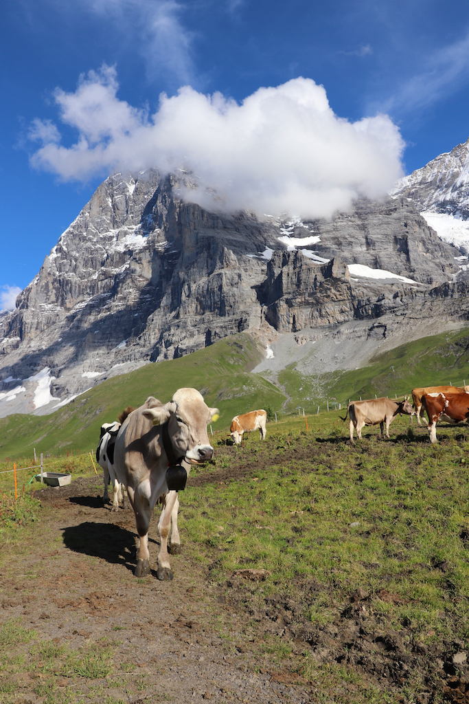 cows-in-kleine-scheidegg-copy