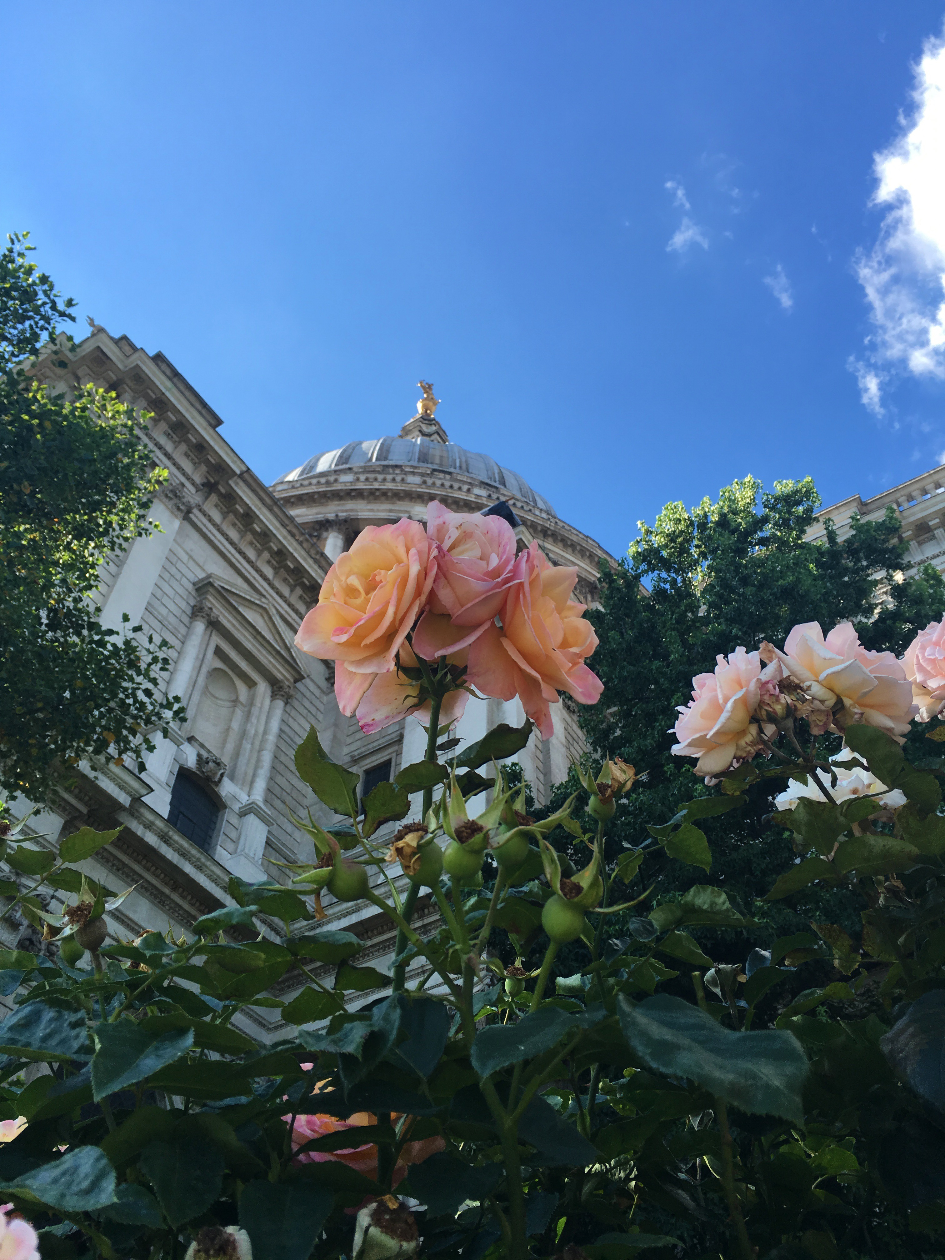 english-rose-by-st-pauls-copy