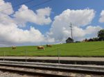 railway-cows-and-swiss-green-hills-copy