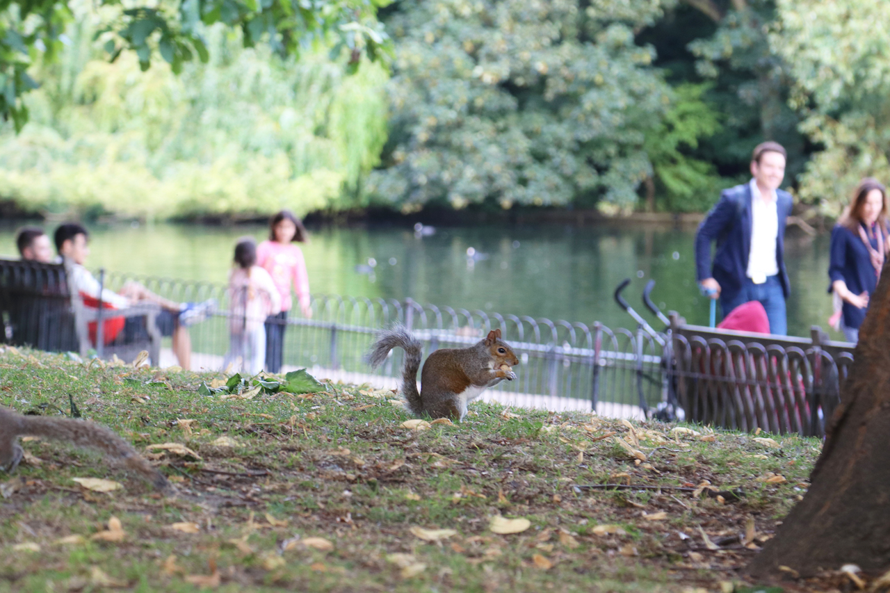 Squirrel at St James Park copy