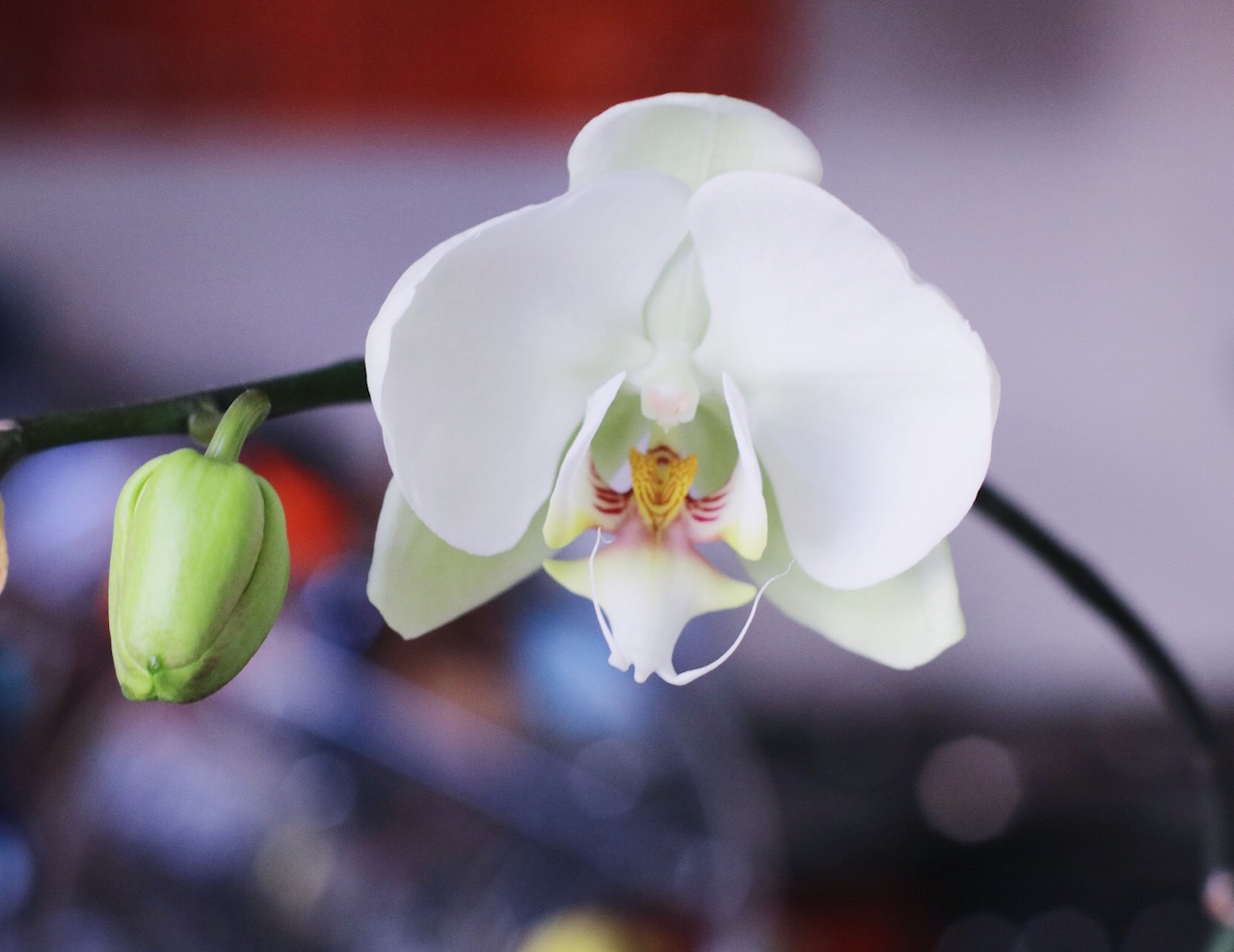 bailey-schneiders-orchid